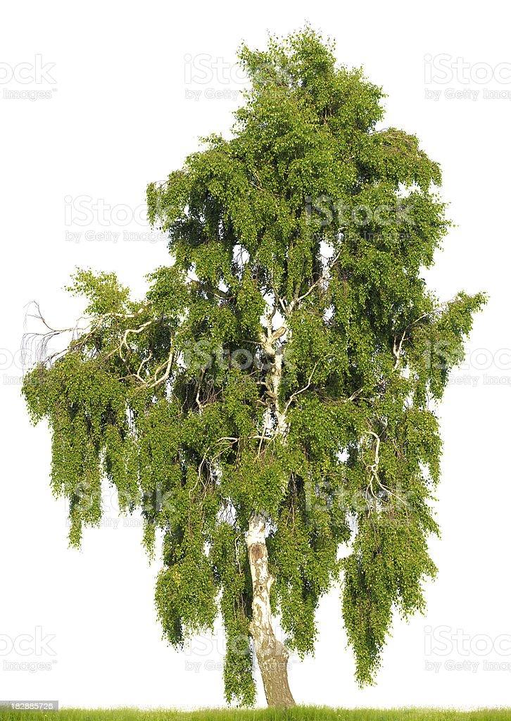 Birch tree (Betula pendula) isolated on white. Huge resolution. stock photo
