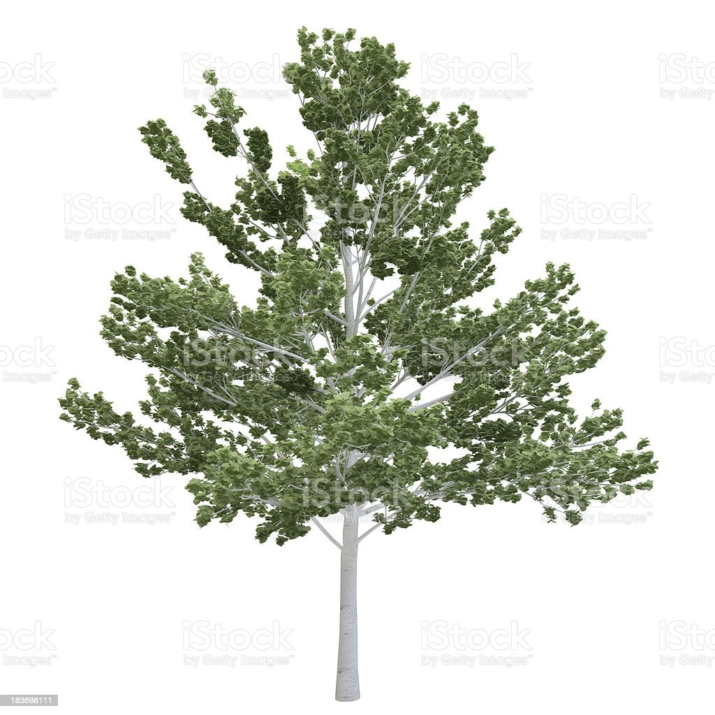 Birch Tree Isolated royalty-free stock photo