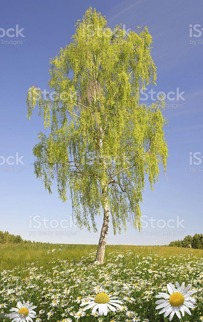 birch tree stock photo