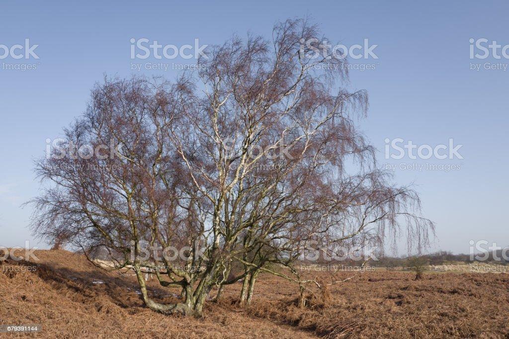 Birch tree. stock photo