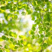 Birch tree springtime forest
