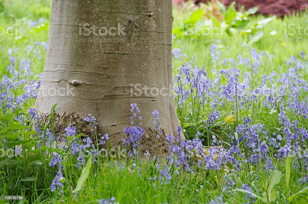 Birch tree surrounded by bluebells royalty-free stock photo