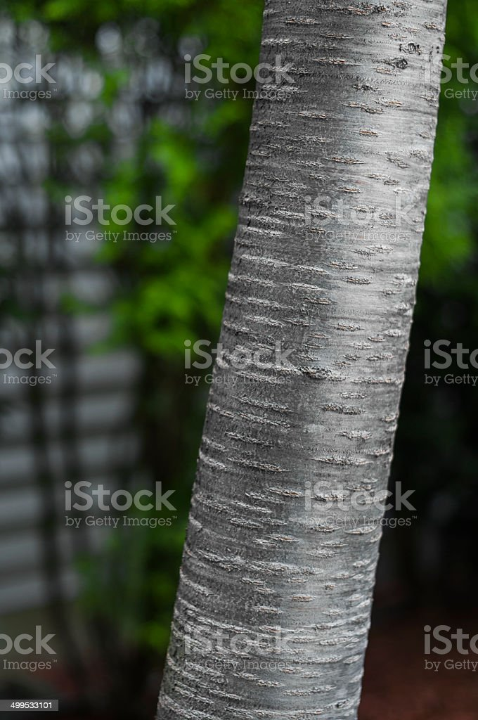Bétula tronco detalhe foto royalty-free