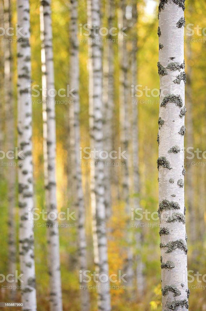 Birch tree trunks stock photo