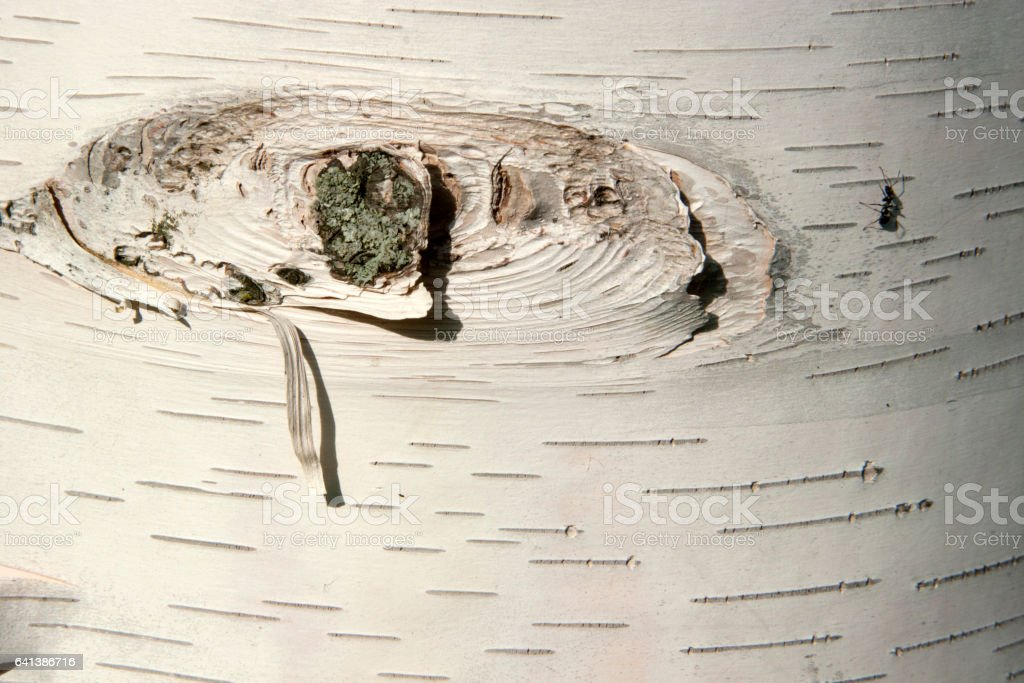 Birch treebark stock photo