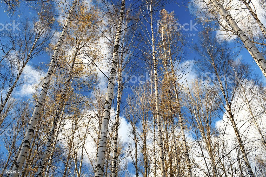 Birch trees against the blue sky. royalty-free stock photo