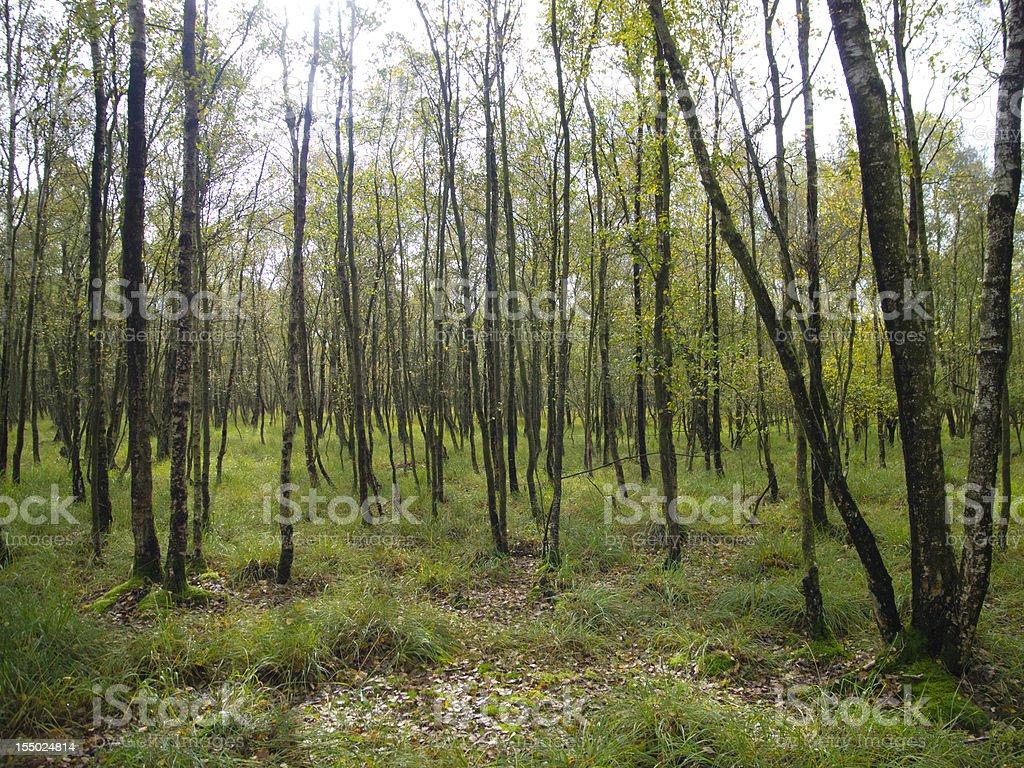 birch trees and sunbeams stock photo