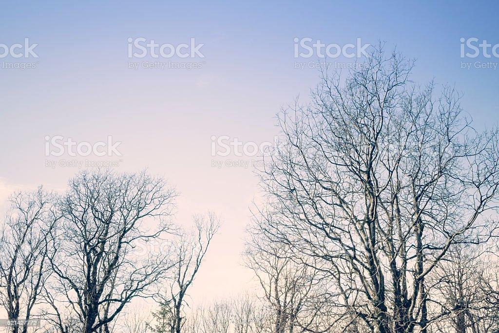 Birch Trees at Sunset stock photo