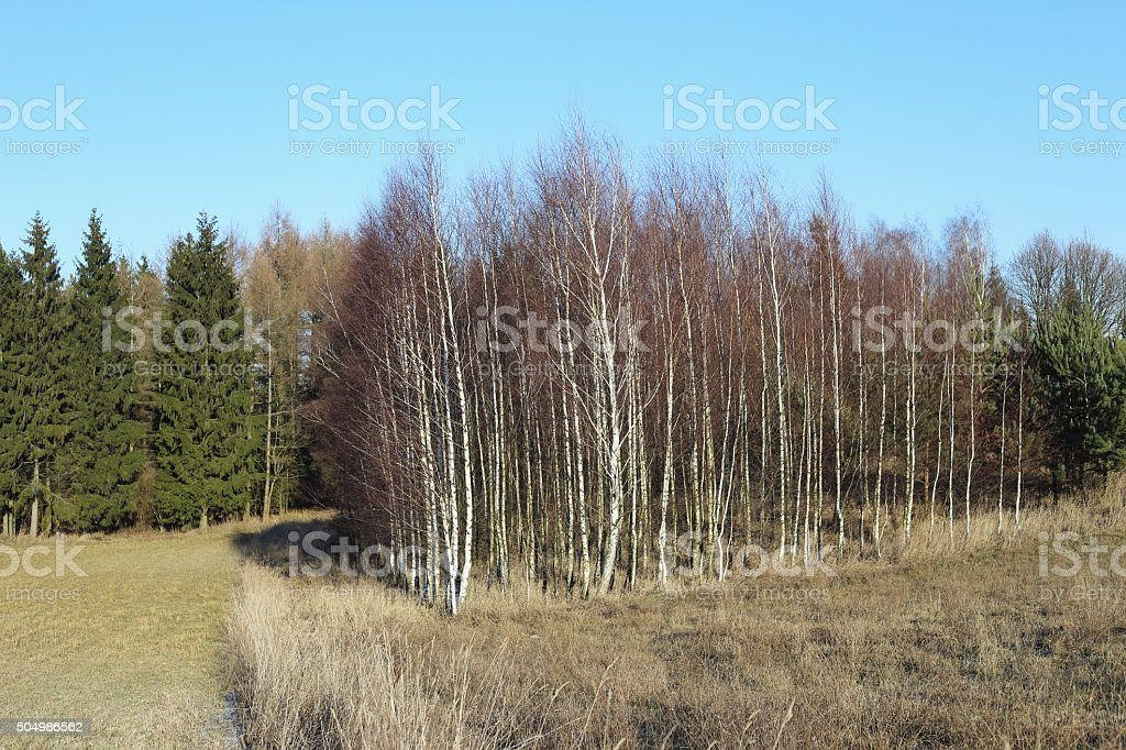 Birch - trees forest royalty-free stock photo