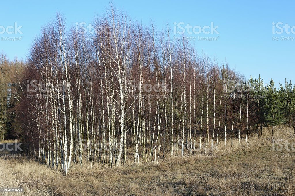Birch trees forest royalty-free stock photo