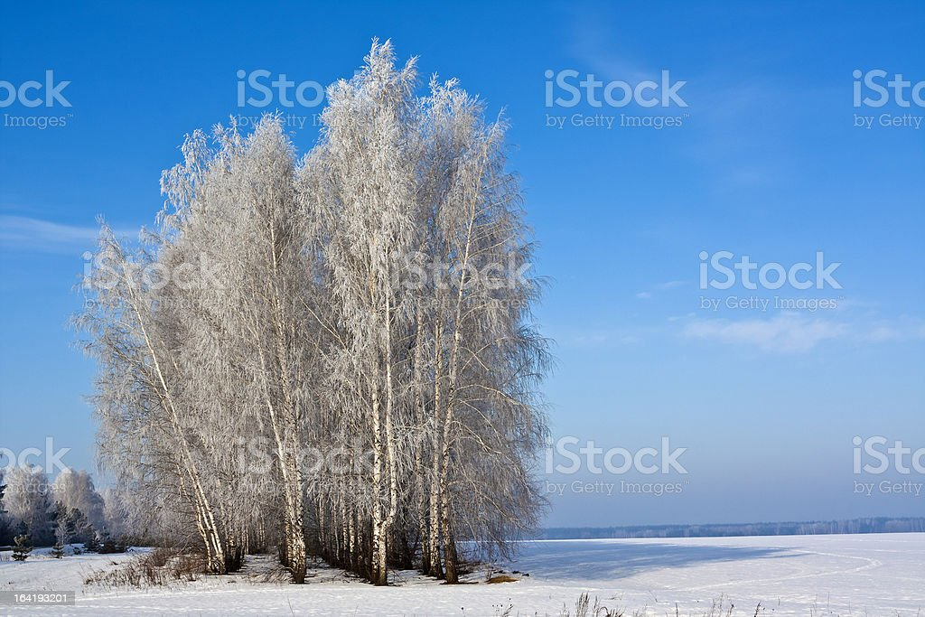 Birch trees in a field royalty-free stock photo