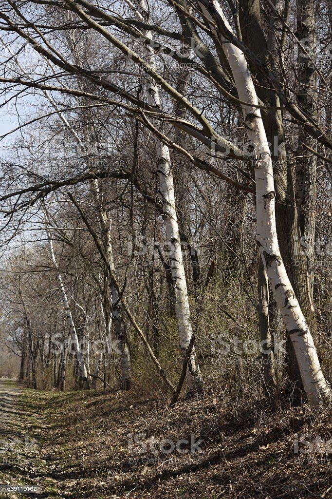 Birch trees in a line stock photo