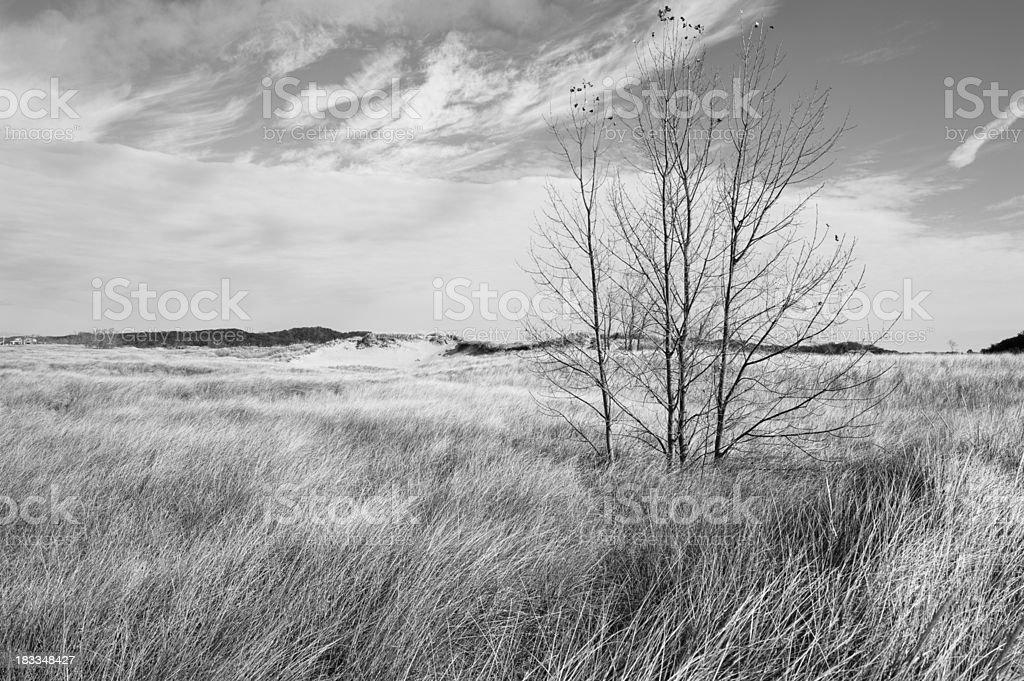 Birch trees in dunes stock photo