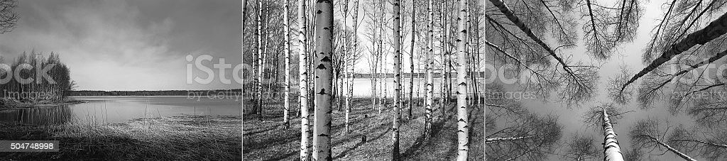 Birch trees in Finnish forest stock photo