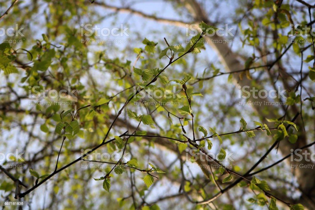 Birch trees in spring stock photo