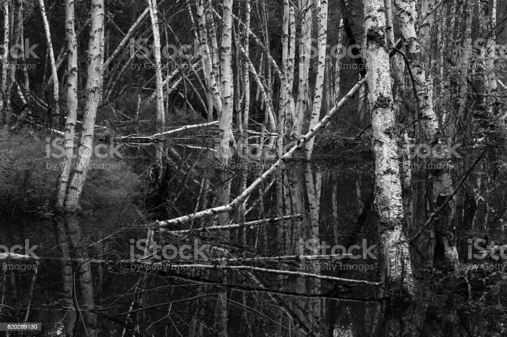 Birch Trees in the Bog stock photo