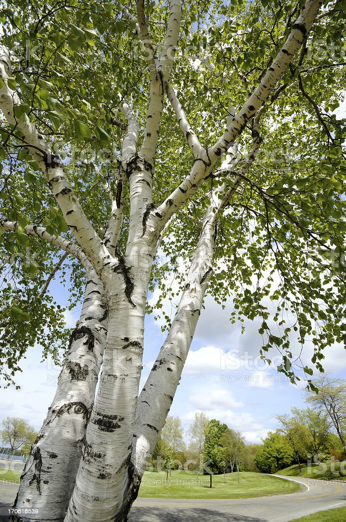 Birch Trees & Park royalty-free stock photo