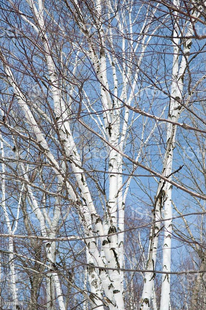 Birch Trees stock photo