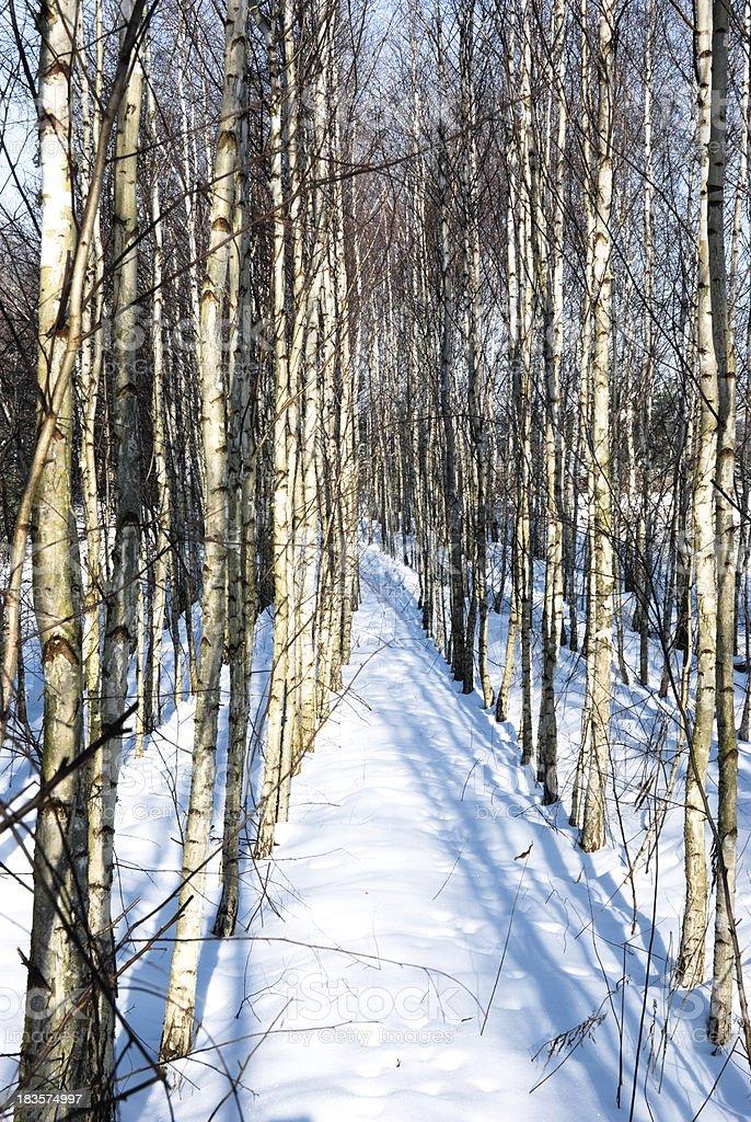 Birch Trees royalty-free stock photo