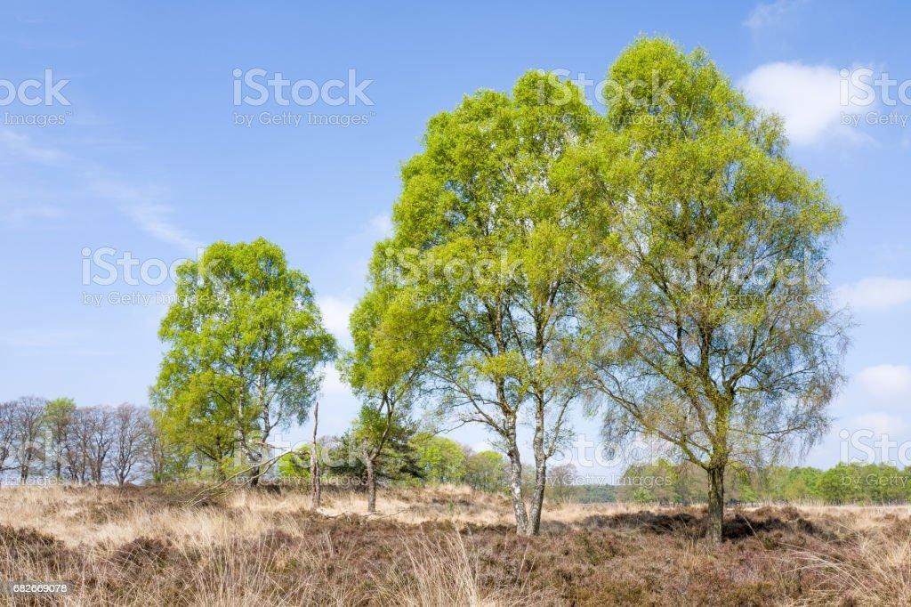 Birch trees. stock photo