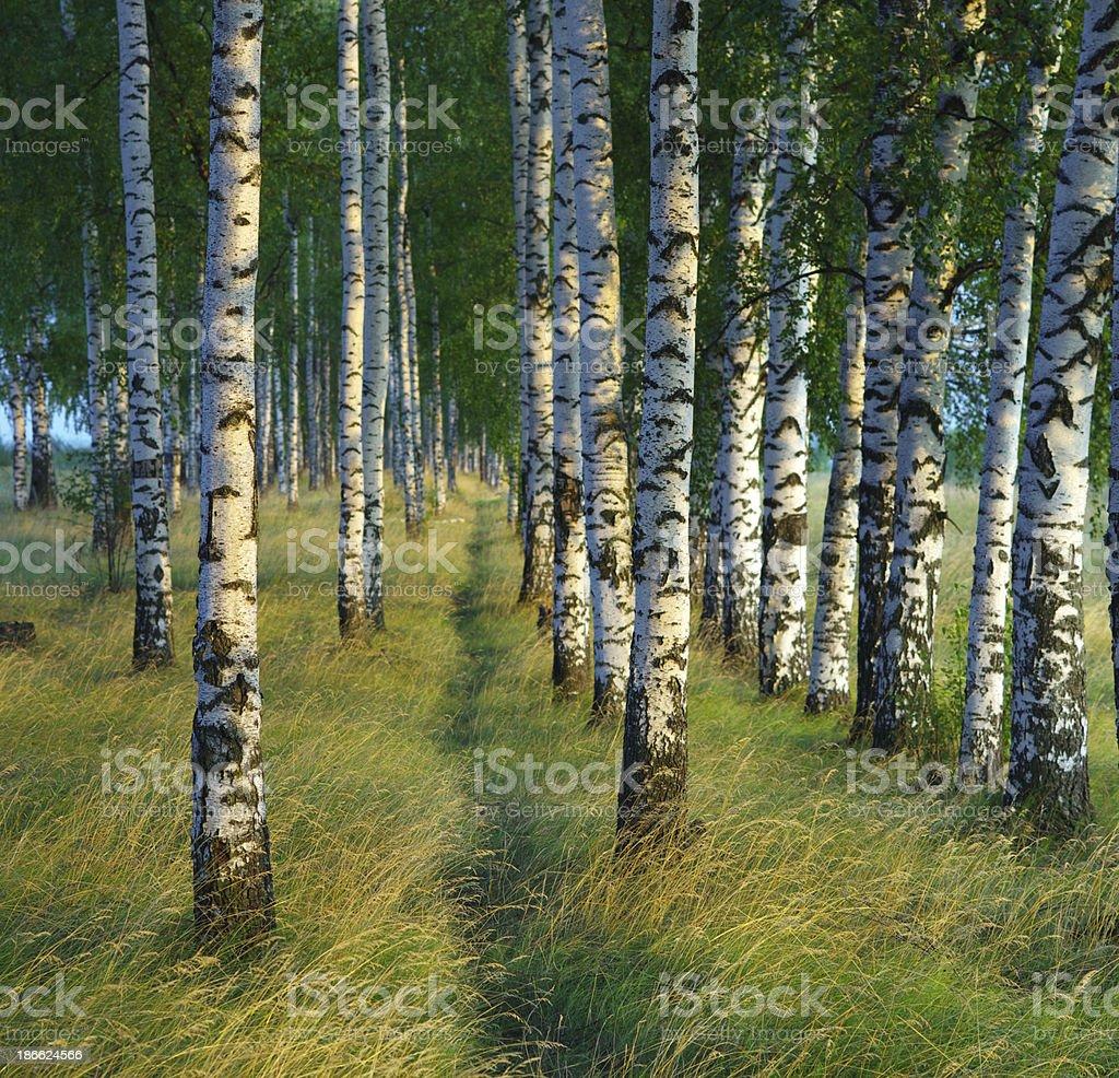 Birch trees trunk royalty-free stock photo