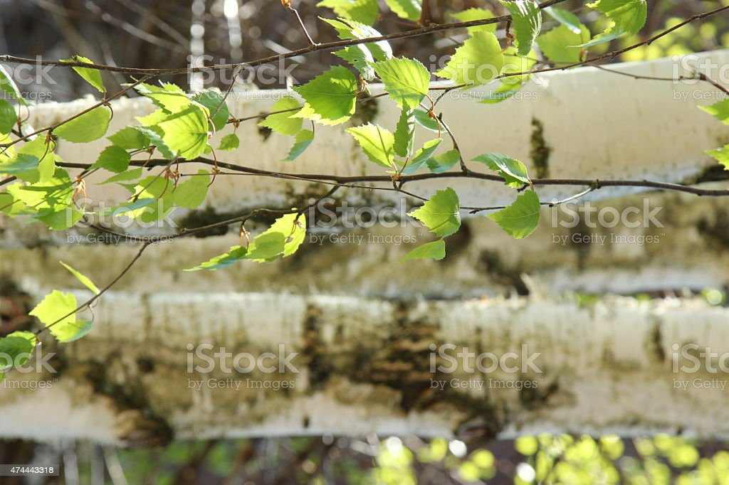 Birch Trees with leaves stock photo