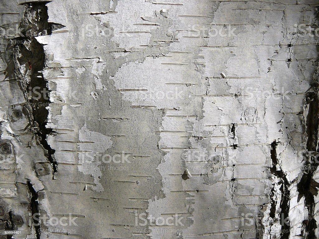 birch trunk stock photo