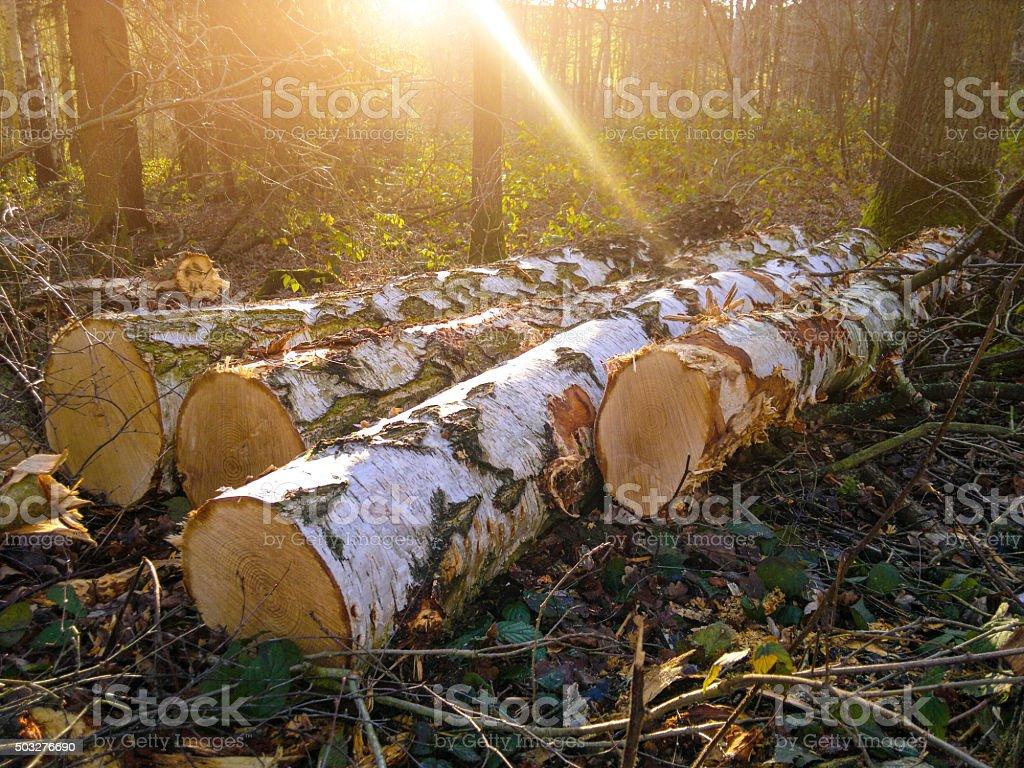 Birch trunks for kamin wood -  fresh felled stock photo