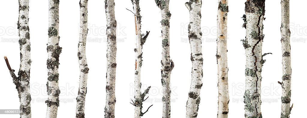 Birch trunks isolated on white background stock photo