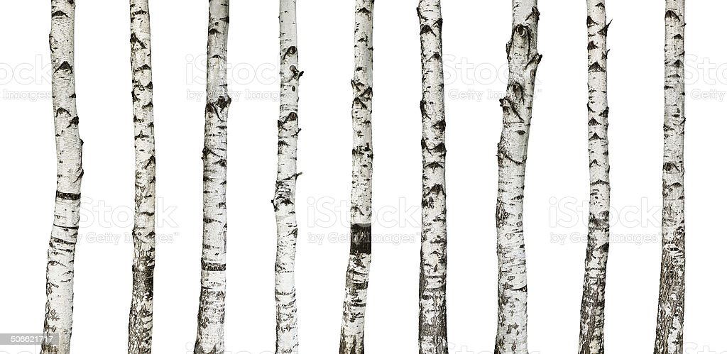 Birch trunks isolated on white stock photo