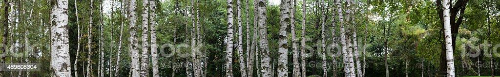 Birch Trunks stock photo