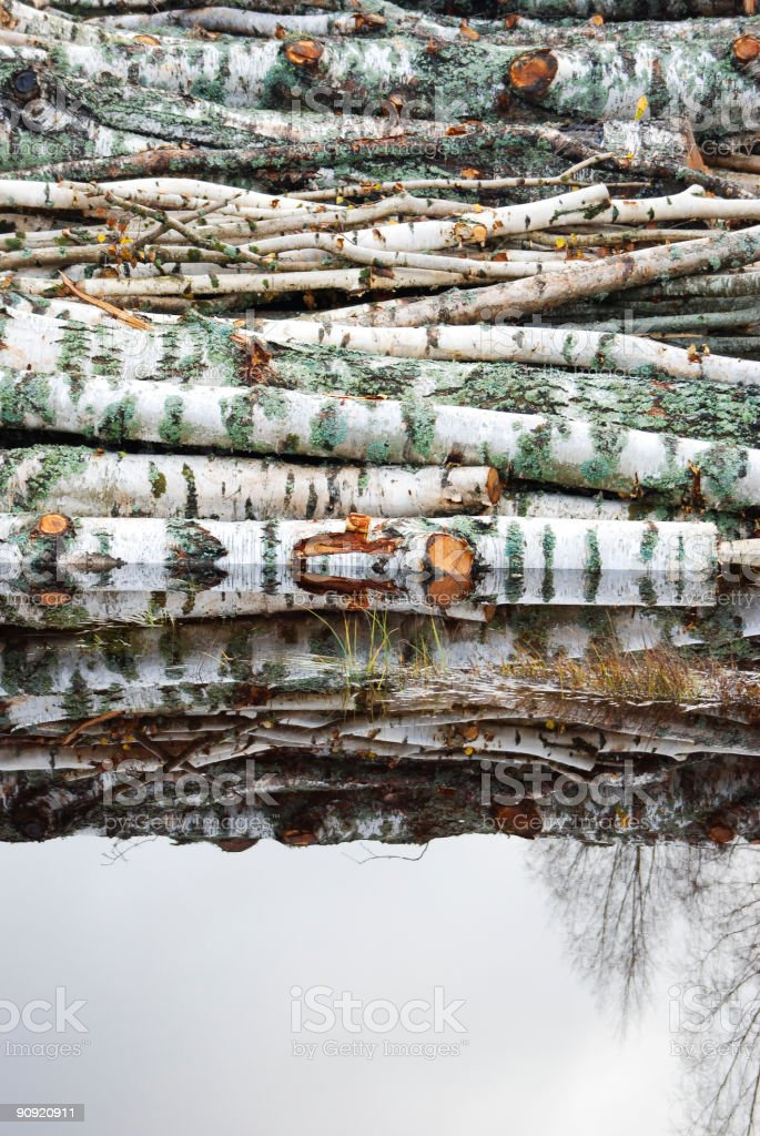 Birch trunks royalty-free stock photo
