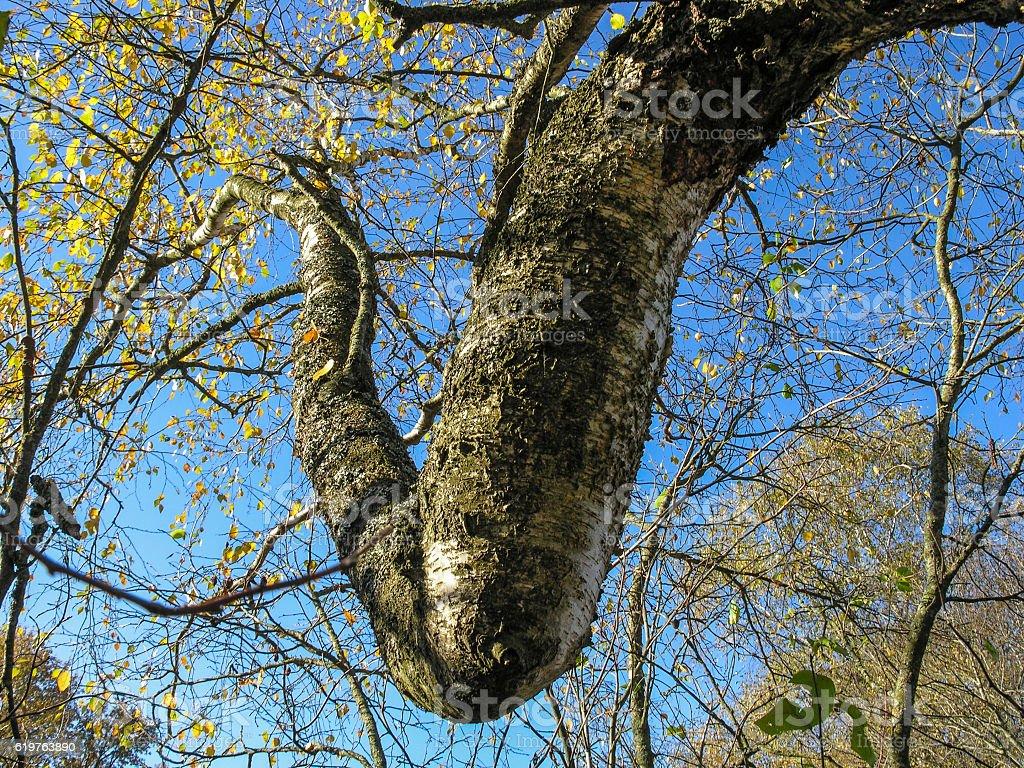 Birch twig intricately twisted knee stock photo