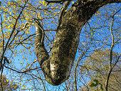 Birch twig intricately twisted knee