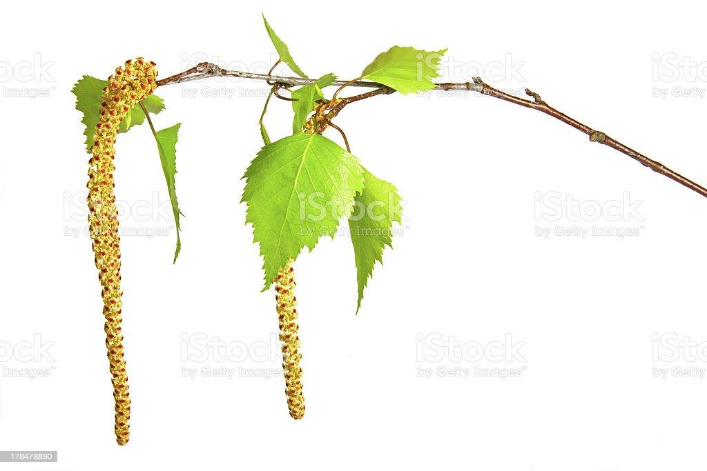 Birch twig stock photo