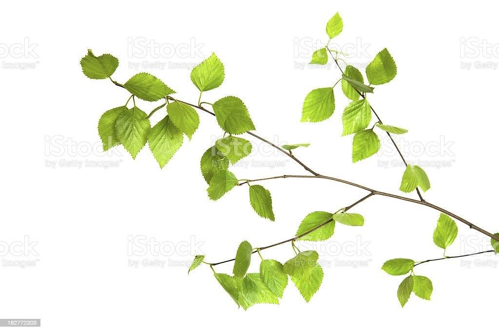 Birch twig. royalty-free stock photo