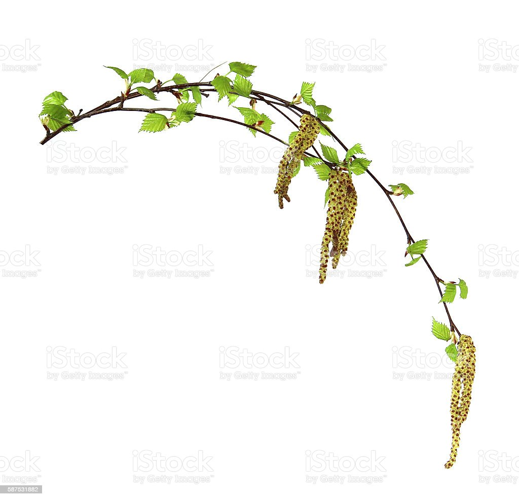 birch twig with flowering catkins, stock photo