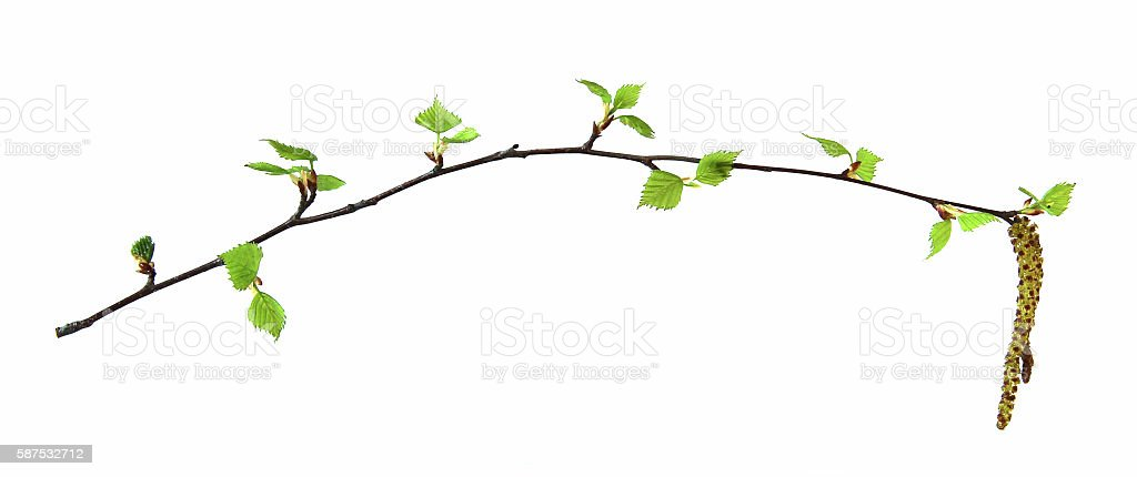 birch twig with flowering catkins stock photo