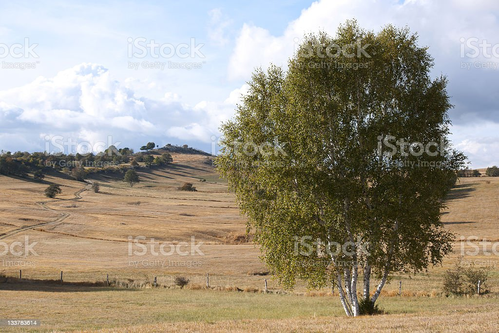 Birch Waiting for Fall to Come royalty-free stock photo