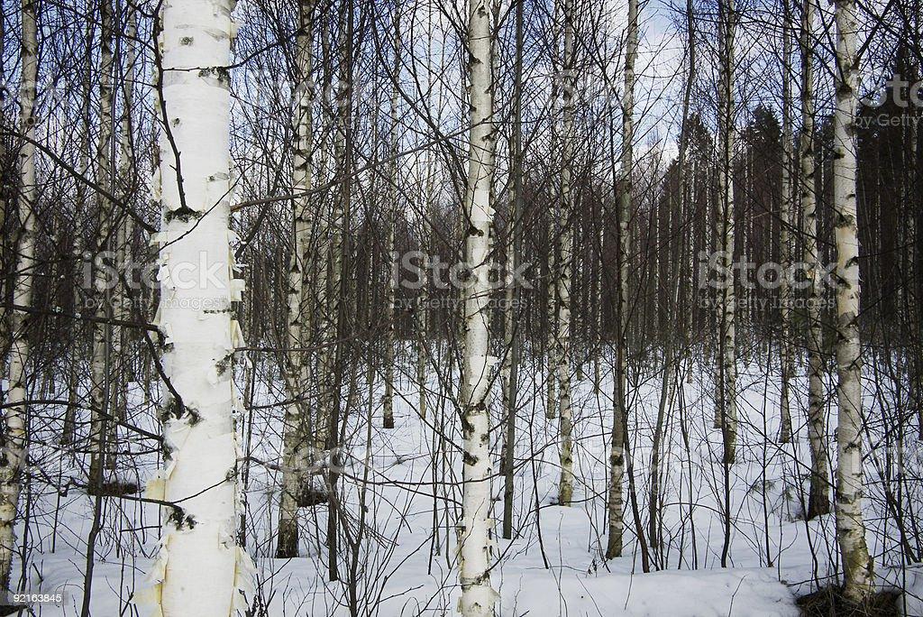 Birch White royalty-free stock photo