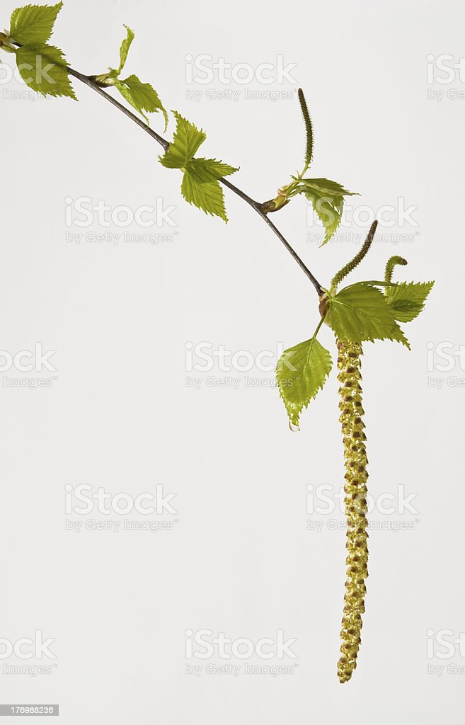 birch with aglets stock photo