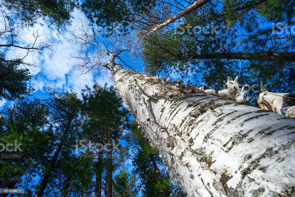 Birch with beautiful bark , view from below to the top. stock photo