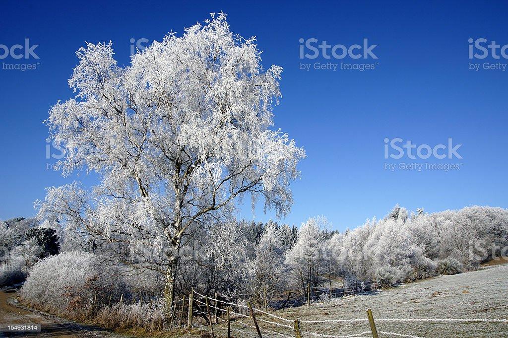 Birch with hoarfrost stock photo