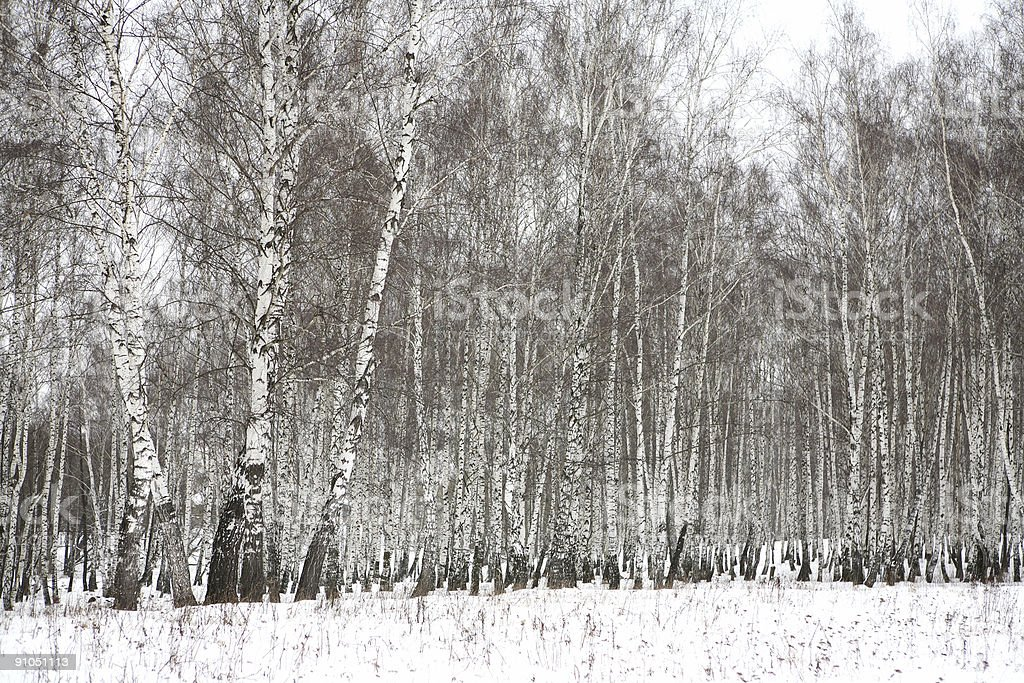 Birch wood in winter Russia royalty-free stock photo