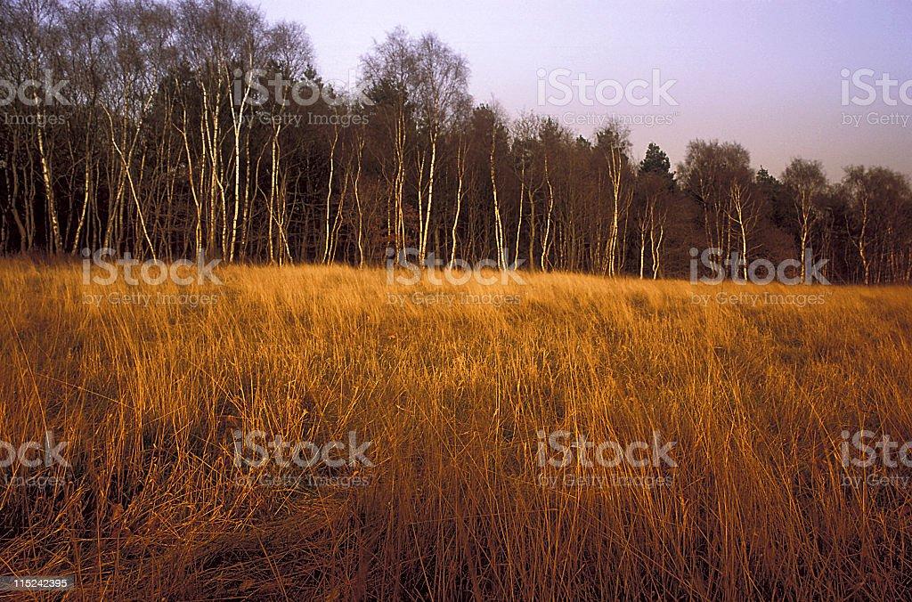 Birch Woodland royalty-free stock photo