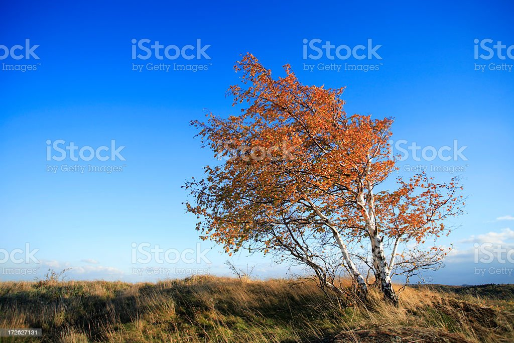 Birches Bent by Autumn Wind royalty-free stock photo