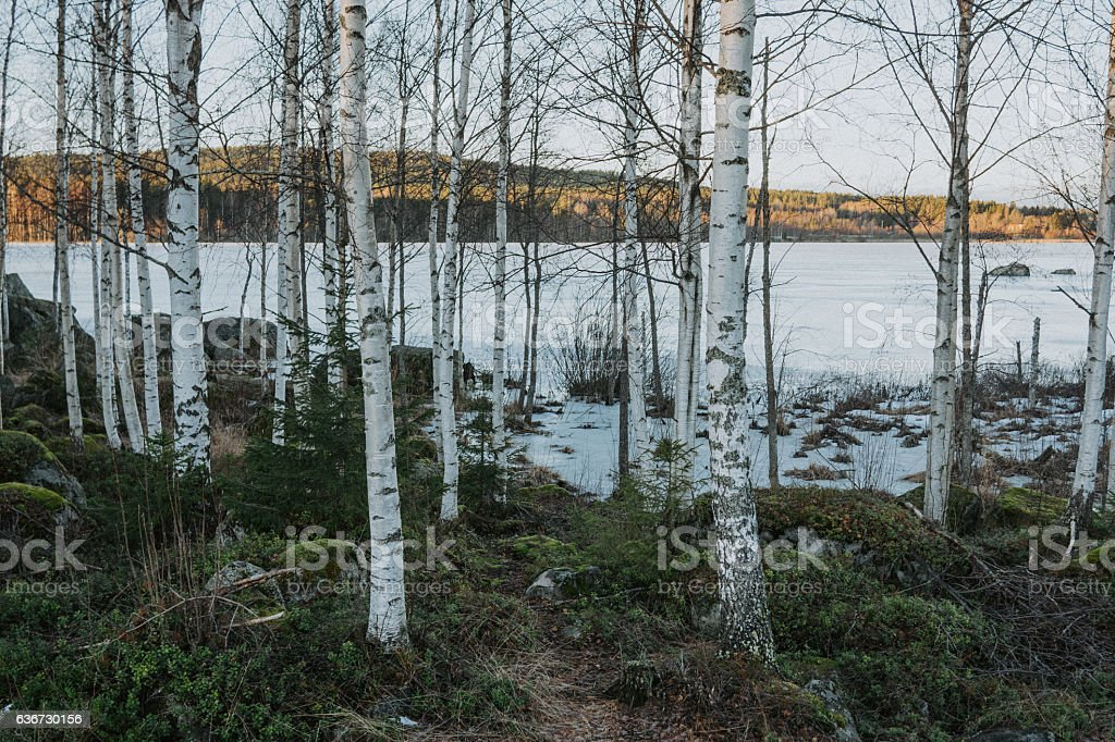Birches by lake in Norrland stock photo