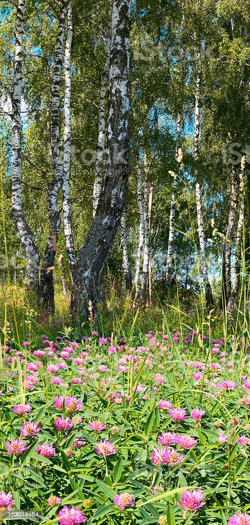 Birches in forest royalty-free stock photo