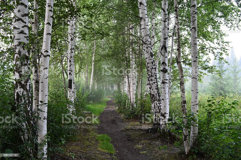 Birches in the morning stock photo