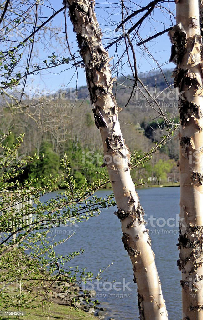Birches on Lake Lure royalty-free stock photo